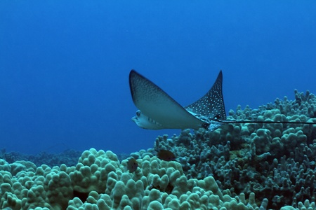 spotted: Spotted Eagle Ray