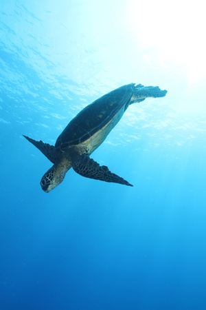Hawaiian Green Sea Turtle Stock Photo - 10793510