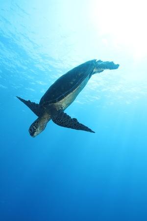 Hawaiian Green Sea Turtle Stock Photo - 10793510