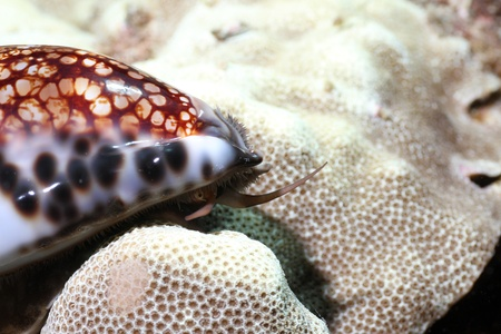 Reticulated Cowrie Stock Photo - 10793518