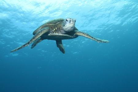 tortuga: Tortuga de mar verde de Hawai
