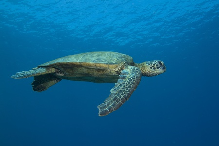 Hawaiian Green Sea Turtle Stock Photo - 10793524
