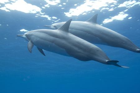 spinner: Hawaiian Spinner Dolphin Stock Photo