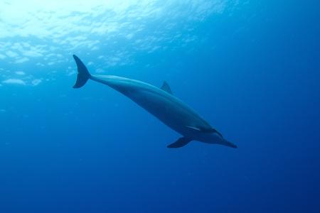 Hawaiian Spinner Dolphin Banco de Imagens