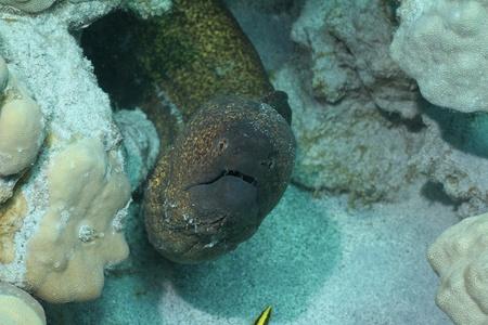 margine: Giallo Margine Moray Eel