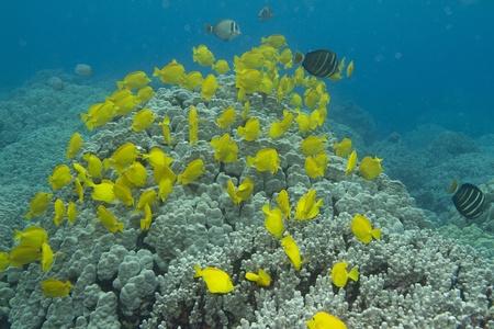Yellow Tang Stock Photo - 10793559