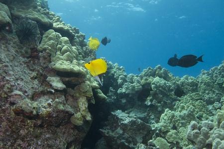 Forceps Butterflyfish Stock Photo