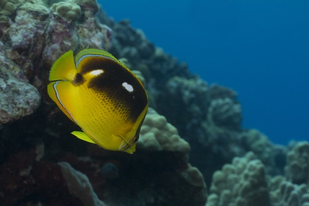 Fourspot Butterflyfish Stock Photo