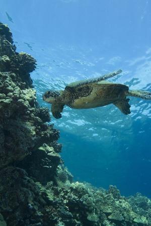 big island: Hawaiian Green Sea Turtle