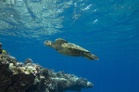 Hawaiian Green Sea Turtle photo