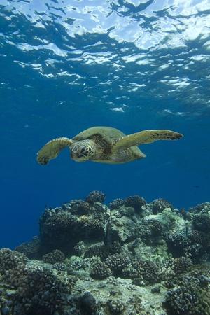Hawaiian Green Sea Turtle photo