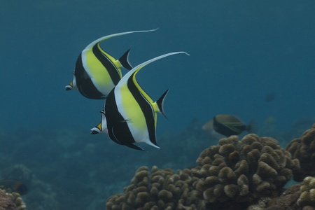idol: Moorish Idol