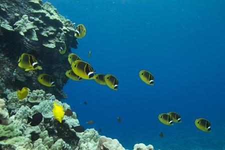 butterflyfish: Raccoon Butterflyfish Stock Photo