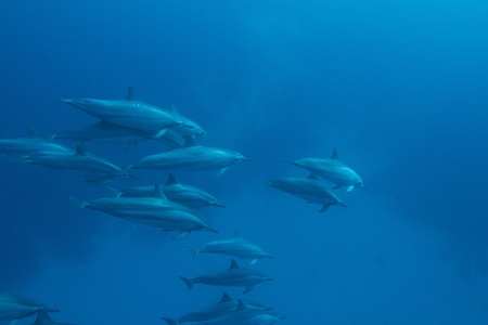 Hawaiian Spinner Dolphin photo