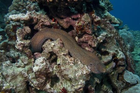 moray: Whitemouth Moray Eel Stock Photo