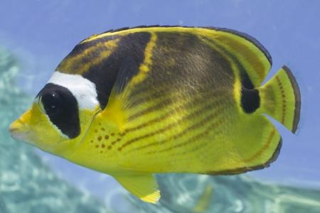 Raccoon Butterflyfish Stock Photo