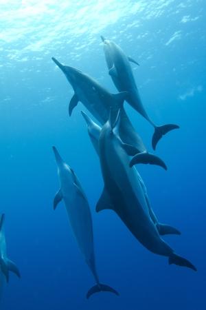 dolphin: Hawaiian Spinner Dolphin Stock Photo