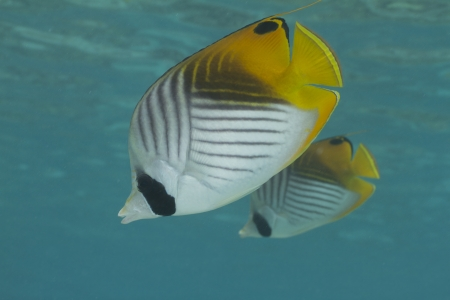 butterflyfish: Threadfin Butterflyfish