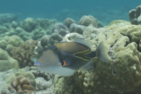 triggerfish: Wedgetail Triggerfish Stock Photo