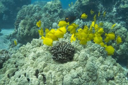 yellow tang: Yellow Tang