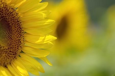 fields of flowers: Sunflower