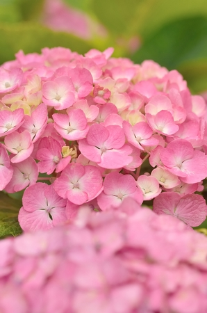 hydrangea flower: Hydrangea flower close up