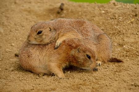 burrows: Prairie dog