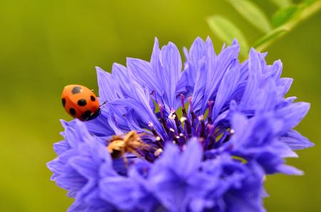 septempunctata: Cornflower