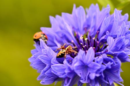 coccinella: Cornflower