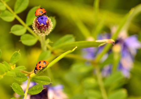coccinella: Ladybug