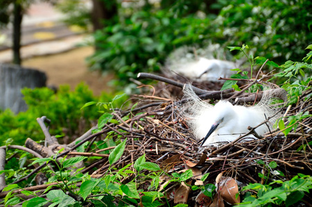 incubation: Incubation of the little egret