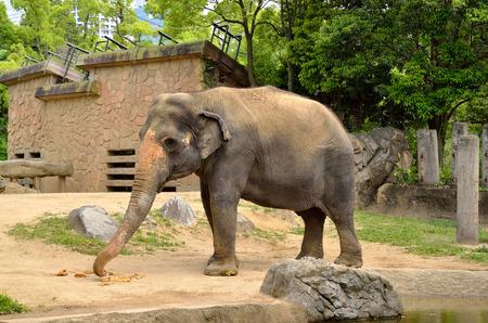 land mammals: Zoo elephants