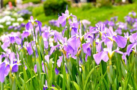 Iris laevigata