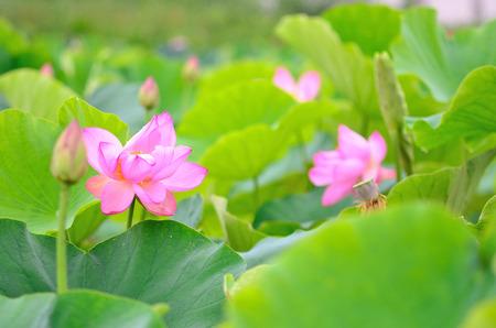 helical: Lotus  Lotus