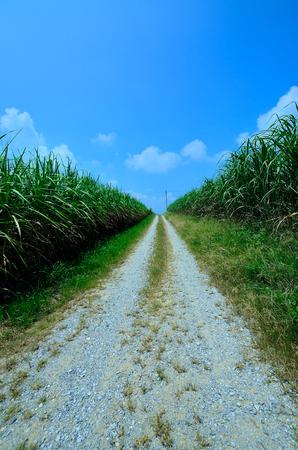 midsummer pole: Sugar cane field
