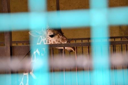 Giraffe in a cage 스톡 콘텐츠