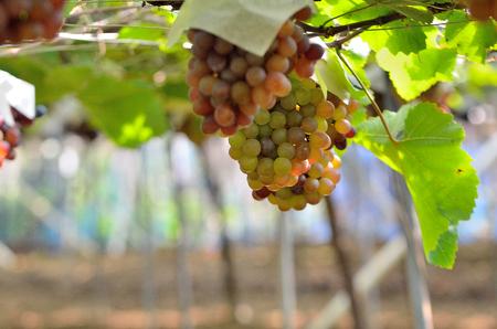 Vineyards closeup Stock Photo - 92702433