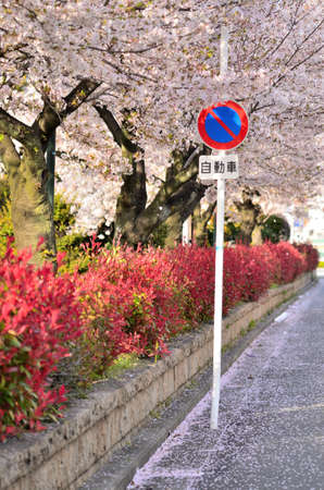 No parking signs dancing in the cherry blossom blizzard