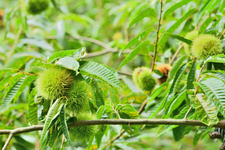 The scenery seen by picking chestnuts