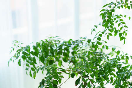 Potted foliage plants placed near the window