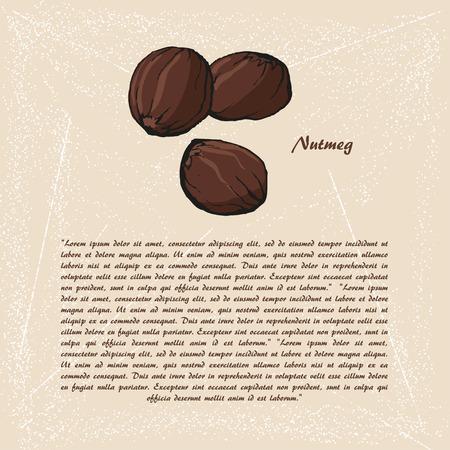 nutmeg: Vector sketch of nutmeg