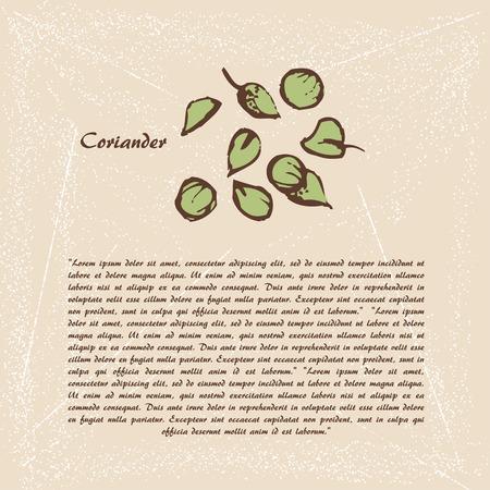 cilantro: Vector el bosquejo de cilantro Vectores