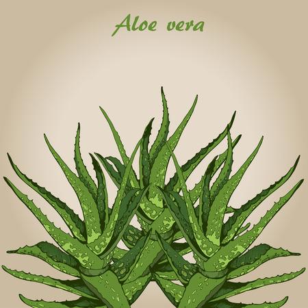 vera: Vector hand drawn botanical Aloe Vera, sketch