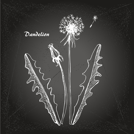 Vector sketch illustration dandelions on chalk-board background.
