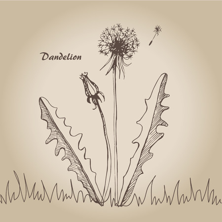 Vector sketch illustration dandelions on vintage background. Illustration