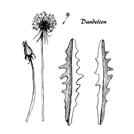 Vector sketch illustration dandelions on isolated background. Illustration