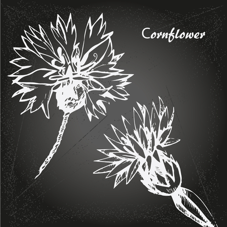 Hand drawn cornflowers on isolated on chalk-board background vector Illustration