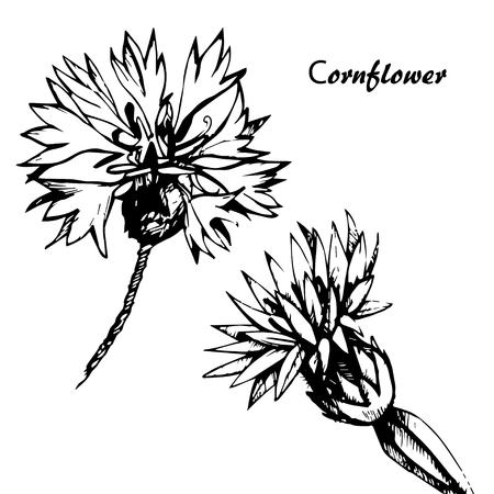 Hand drawn cornflowers on isolated on white background vector
