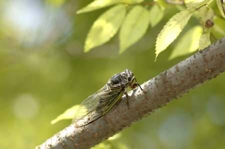 Cicada of the shade of a tree