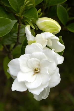 Flower of the Gardenia